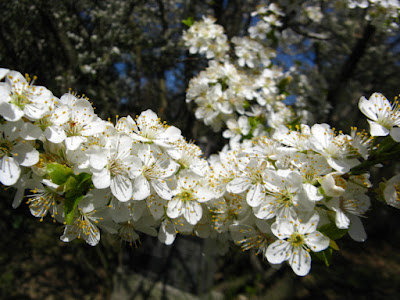 Prunus americana American Plum spring blooms at Mount Pleasant Cemetery by garden muses--not another Toronto gardening blog