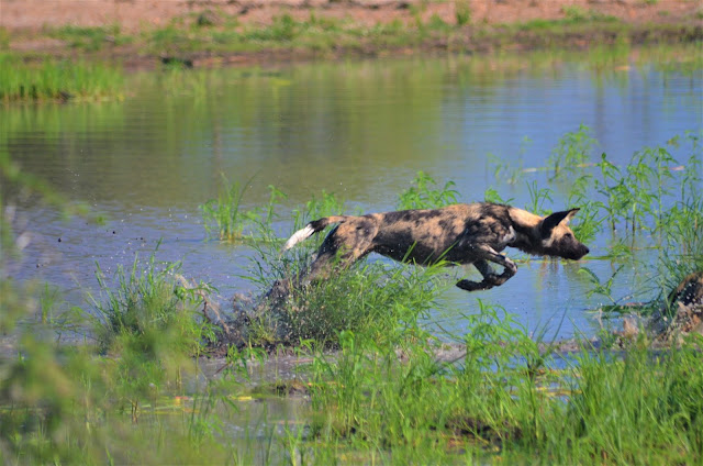 Wild Dog in @SANParksKNP @SANParks #SA #PhotoYatra #TheLifesWayCaptures