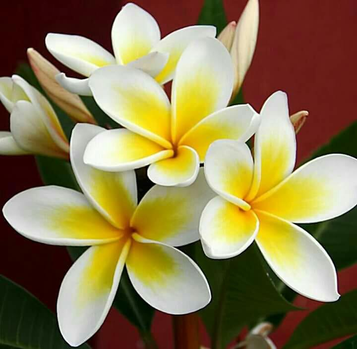 Sri Lanka Image Gallery Red Araliya Flower Plumeria In