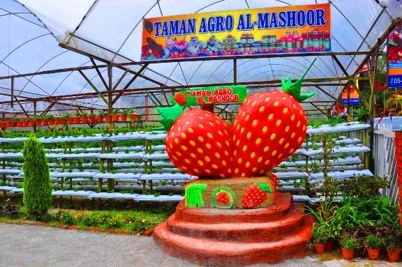 Taman Agro Al-Mashoor Ladang strawberry cameron higland brinchang