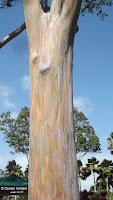 Rainbow eucalyptus trunk - Dole Plantation, Oahu, HI