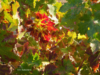 Autumn Grape Leaves from Doce Robles Vineyard, Paso Robles, © B. Radisavljevic
