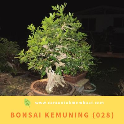 Bonsai Kemuning (028)