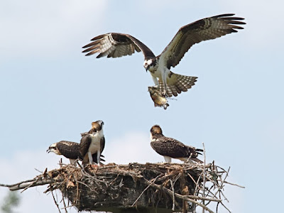Osprey flying in with a fish to feed young at nest