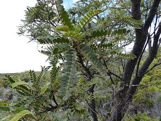 Sophora denudata - Petit tamarin des hauts