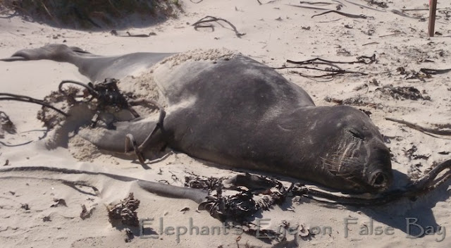 Buffel our elephant seal has moulted