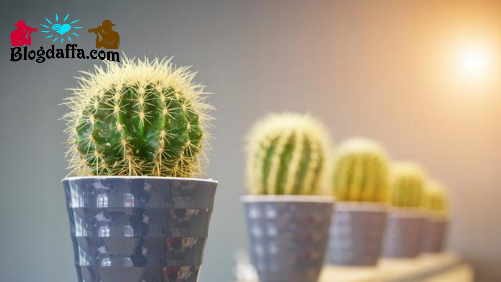 Pastikan Kaktus Mendapatkan Asupan Cahaya Matahari