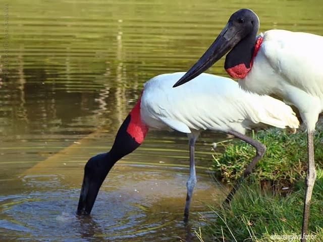 O pássaro Tuiuiú ou Jaburu