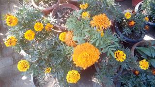 marigold flower 2105