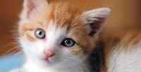 Existem cerca de 250 raças de gato doméstico, cujo peso variável classifica a espécie como animal doméstico de pequeno a médio porte. Assim como cães com estas dimensões, vive entre quinze e vinte anos. De personalidade independente, tornou-se um animal de companhia em diversos lares ao redor do mundo, para pessoas dos mais variados estilos de vida.