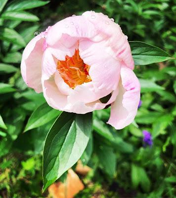 Vaaleanpunainen Ewelina-pioni aukeamassa