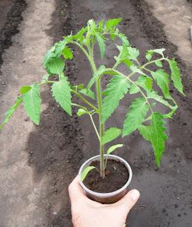 Рассада помидора перед высадкой