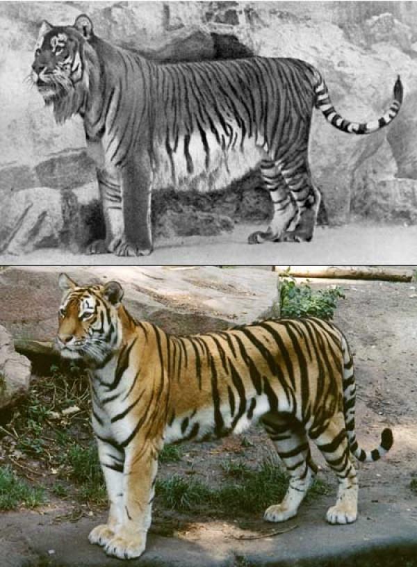 Caspian Tiger   www.pixshark.com - Images Galleries With A ...