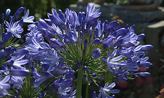 African Lily full of colour
