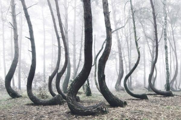 Na Polônia você pode encontrar esses tipos de árvores que parecem estar dançando no meio do nevoeiro