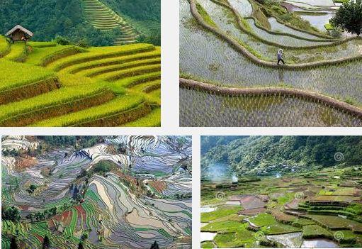 Rice field Philippines