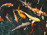 Makalah Perkembangan Budidaya Ikan Konsumsi