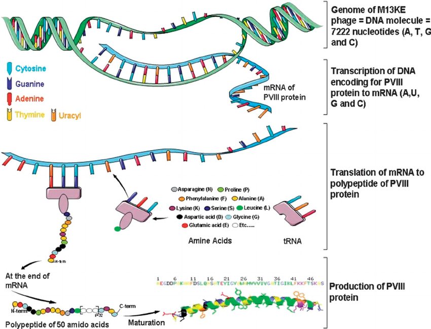 transcription and translation DNA