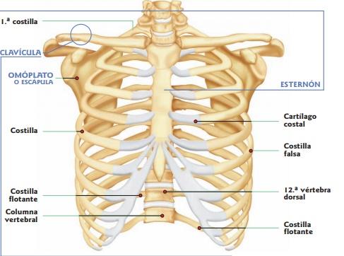 Huesos De La Caja Torácica