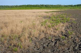 Xerochloa imberbis grassland, Port Musgrave