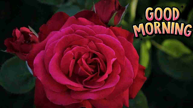 nice good morning pic with red rose flower