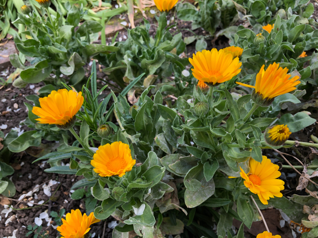 A cluster of bright yellow calendula flowers