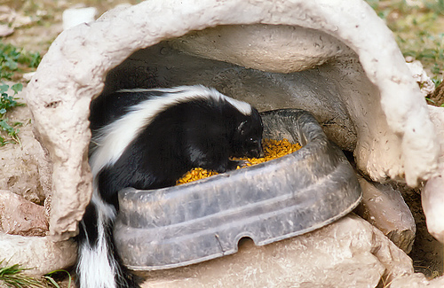 Funny Skunks Pictures