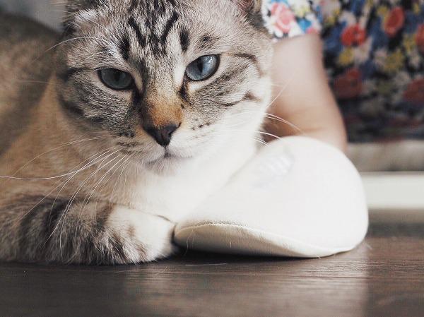 飼い主の足元に寄り添うシャムトラ猫