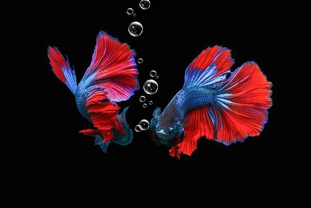 Cara Merawat Ikan Cupang Agar Cepat Besar & Warnanya Bagus