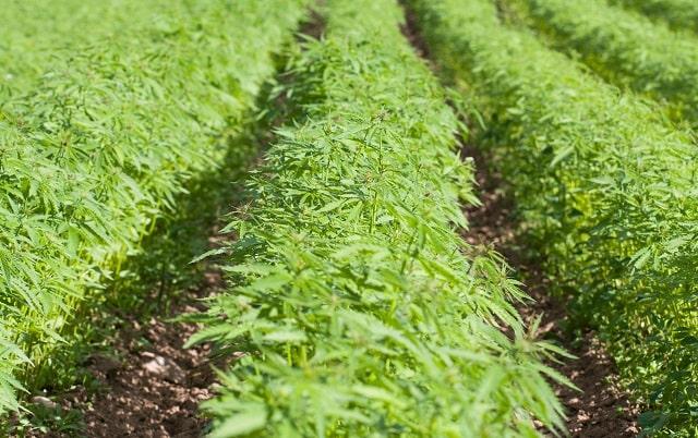 growing hemp for cbd starting farm cannabis farming business startup