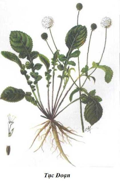 TỤC ĐOẠN - Dipsacus japonicus - Nguyên liệu làm Thuốc Bổ, Thuốc Bồi Dưỡng