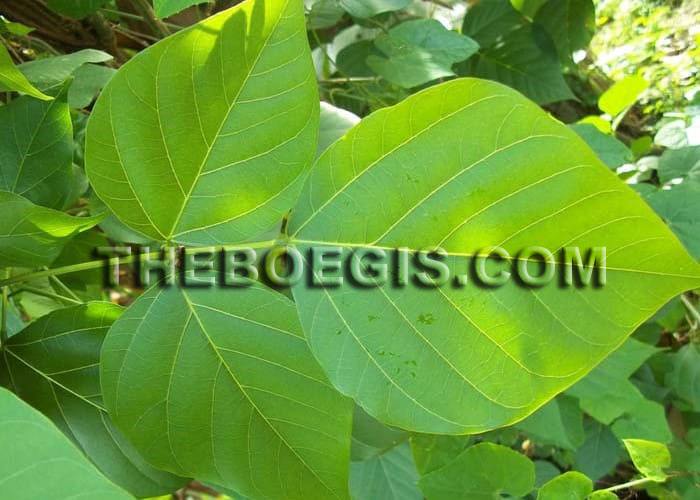 Efficacy of leaves Dadap Serep for body health