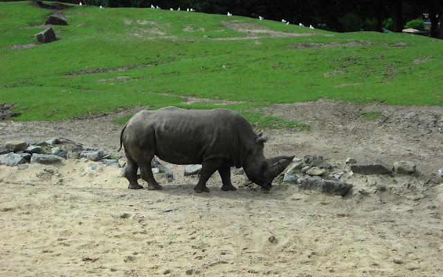 Grote neushoorn in dierentuin Emmen