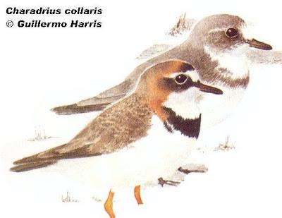 Chorlito de collar Charadrius collaris