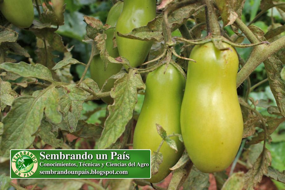 frutos de tomate cilíndricos en planta