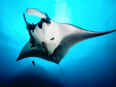 Dangerous Fish, Giant Oceanic Manta Ray