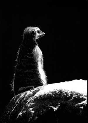 12-Meerkat-Allan-Ace-Adams-Scratchboard-Drawings-of-Wild-Animals-www-designstack-co