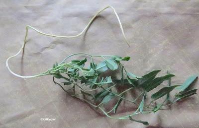 field bindweed and rhizome