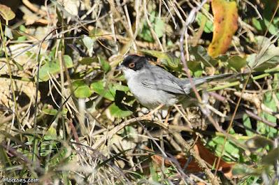 Tallarol capnTallarol capnegre (Sylvia melanocephala)egre (Sylvia melanocephala)
