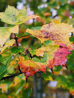 Red, Yellow And Green Maple Leaves