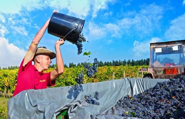 Plantaže traže radnike: Dnevnica i do 35 eura, ali nema ko da radi
