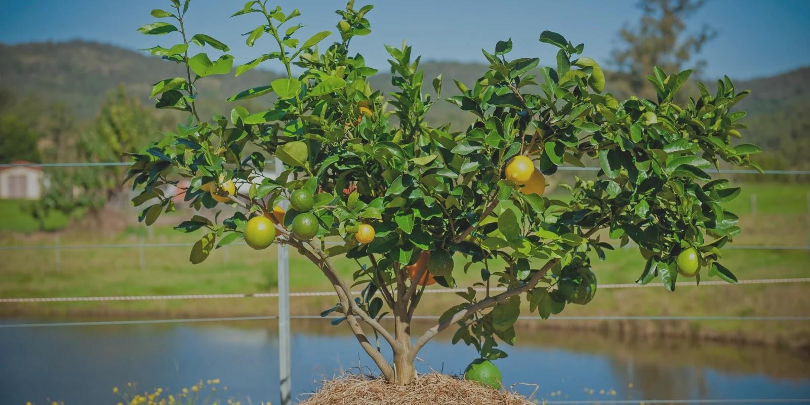 एक अनोखा पेड़ जिसमें लगते हैं 8 तरह के फल जाने कुछ मजेदार रोचक बातें। MrX History