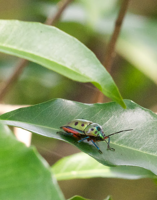 Mangrove Shield Bug (Calliphara nobilis)