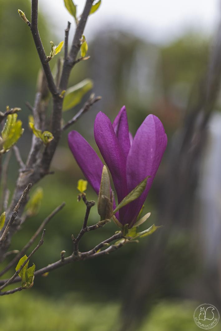 Magnolia liliiflora 'Susan' oravankesäpesä kukka