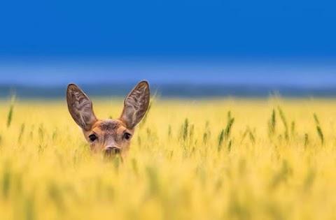 Tuki... Deer