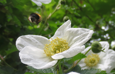 White-Dog-Rose-With-Hovering-Bee