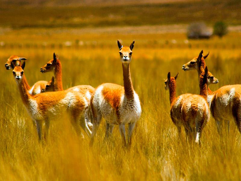 wholesale dealer aab27 5022b La vicuña del Perú, la lana más fina del mundo: La vigogna ...