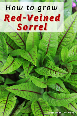 Red veined sorrel AKA bloody dock plant