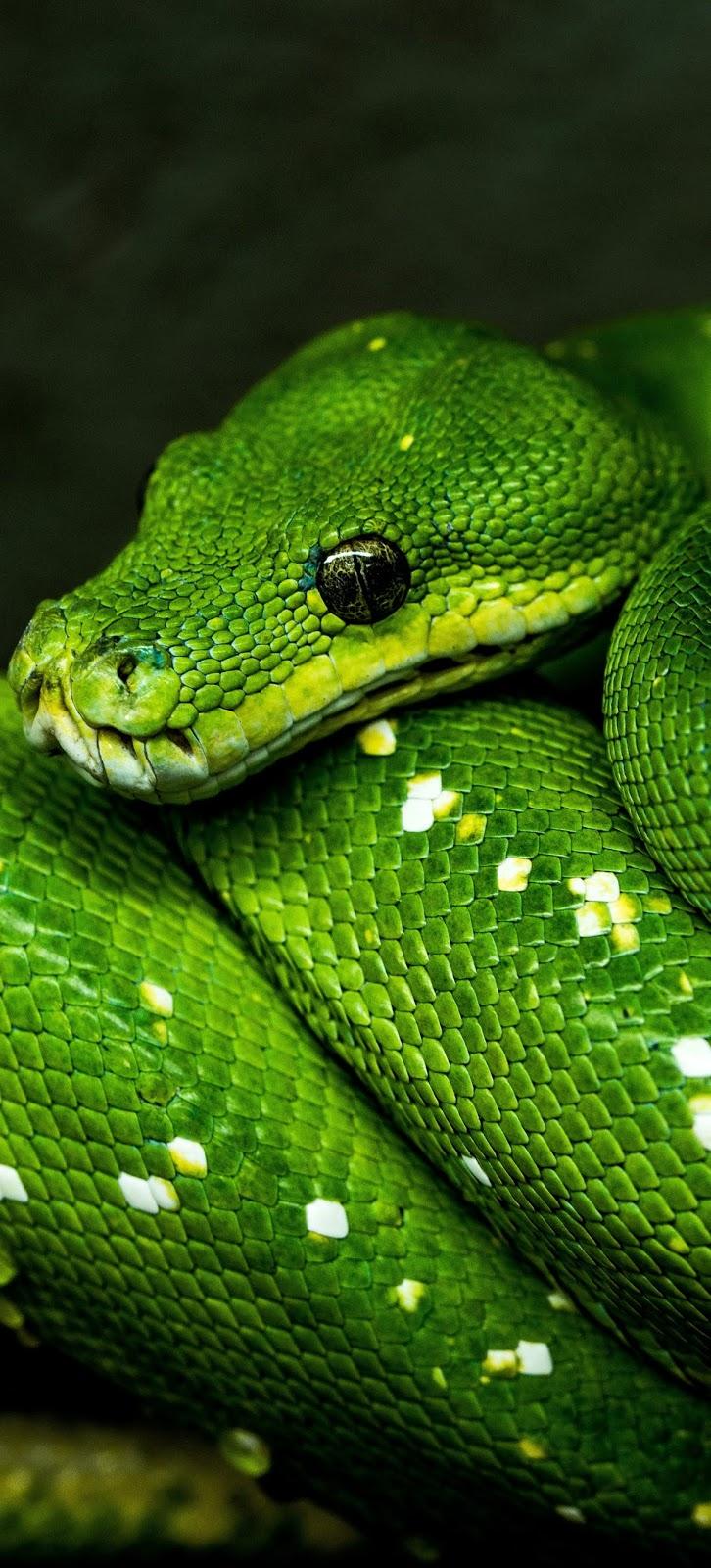 A green tree python.