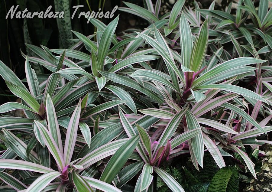 Planta medicinal conocida como hierba del cáncer, Tradescantia discolor